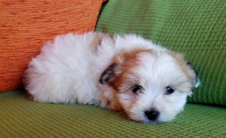 cachorro coton de tulear