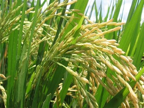 Organic Hard Wheat Seed  Trigo Duro Ecológico