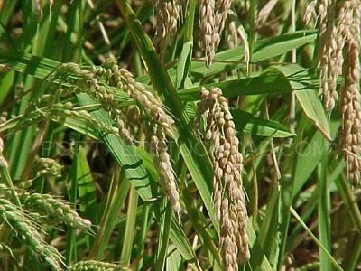 Organic rice arroz ecologico