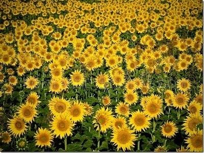 Organic sunflowers Pipas de girasol ecológica