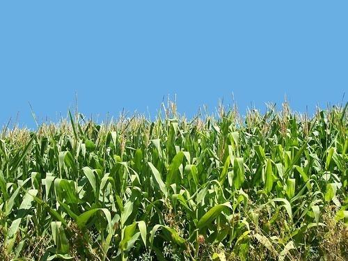 Organic Corn Maíz ecológico