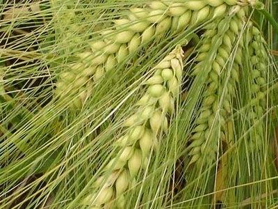 Organic barley seed for beer Cebada cervecera