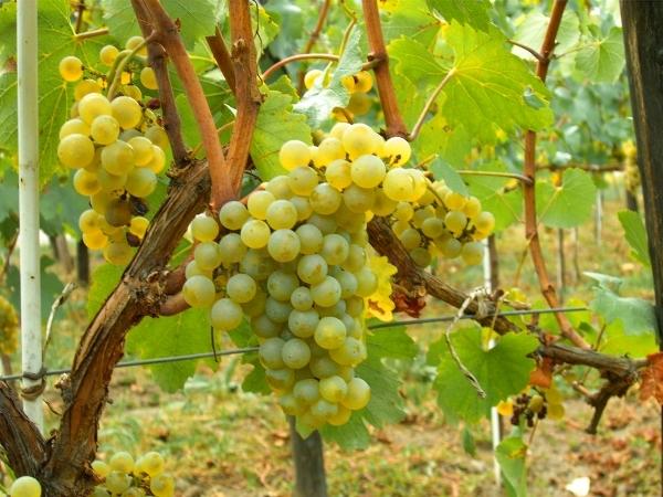 Uva variedad Chardonnay