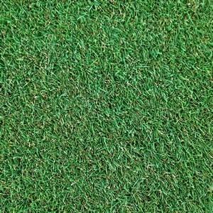 Agrostis stolonifera Penncross