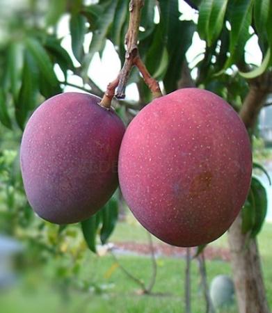 Mangos Tommy Atkins