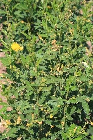 Organic Lentils Lentejas ecológicas