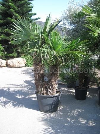 Destacado Trachycarpus fortuneii.