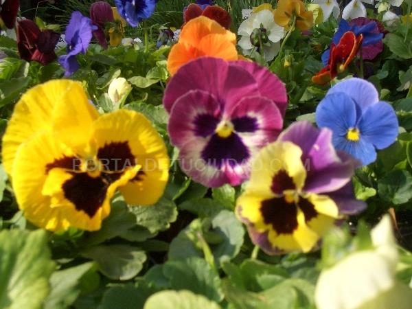 Viola tricolor (pensamientos)