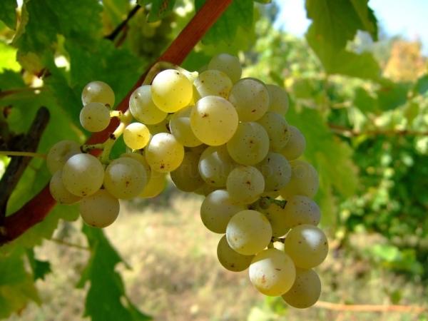 Uva variedad Sauvignon Blanc
