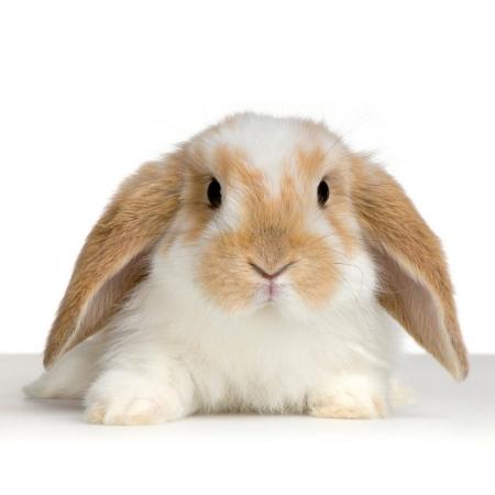 Destacado Conejo Belier Enano