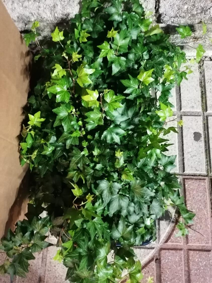 Plantas de hiedras colgantes
