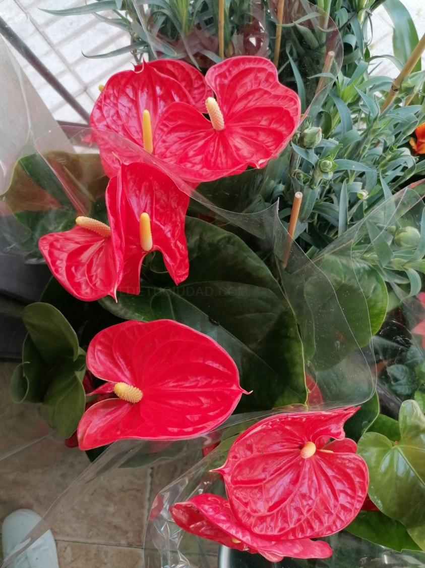 Plantas de interior anthurium