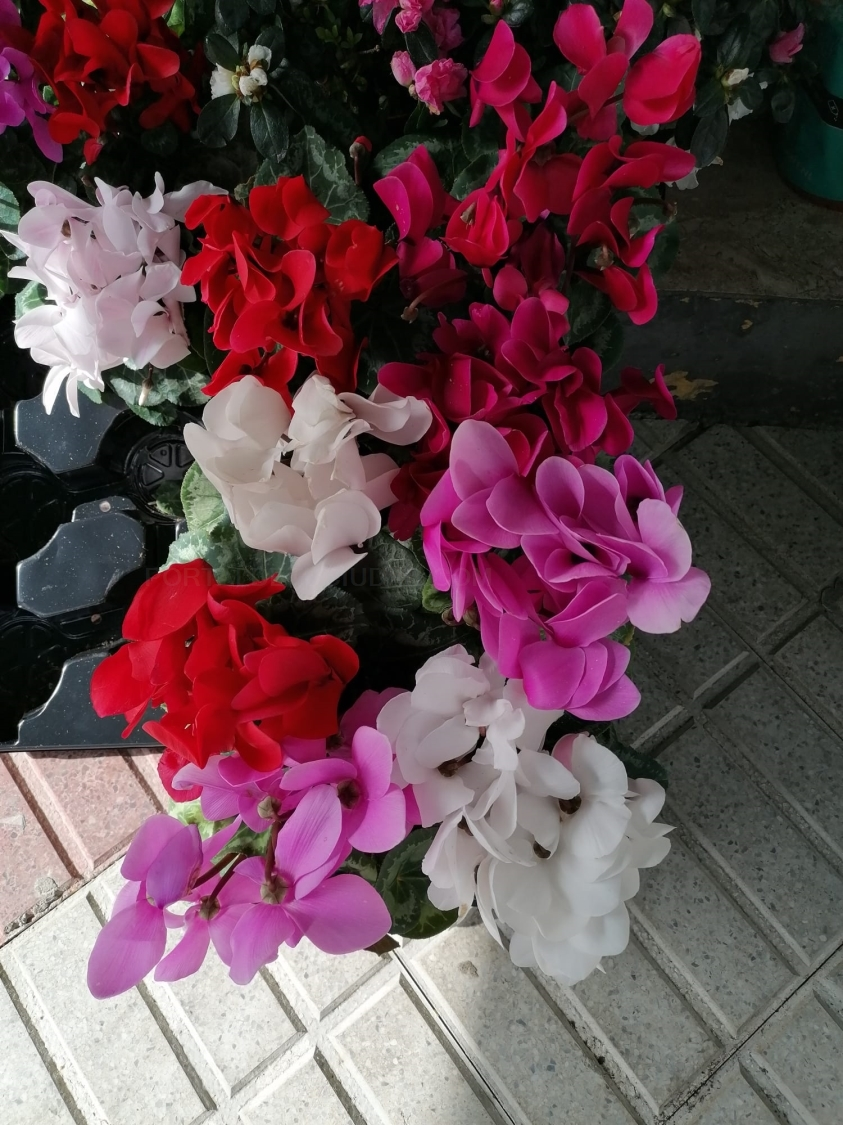 Plantas de interior ciclamen
