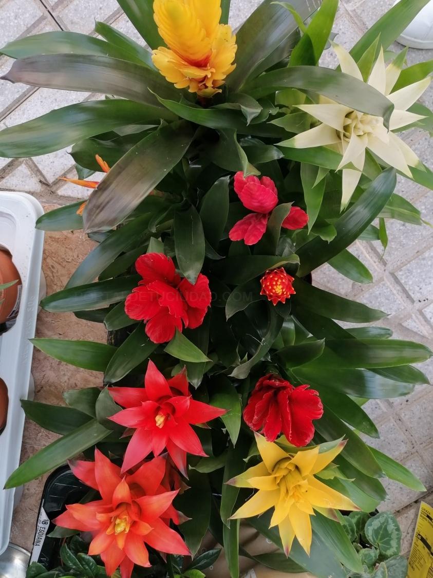 Plantas de interior guzmania y bromelias