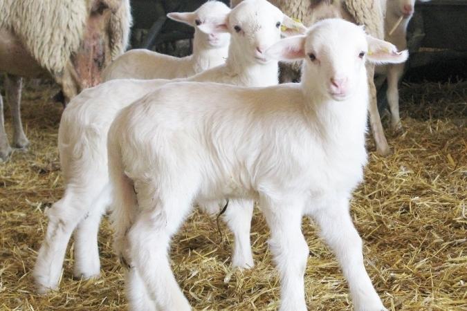 Corderos lechales en Palencia